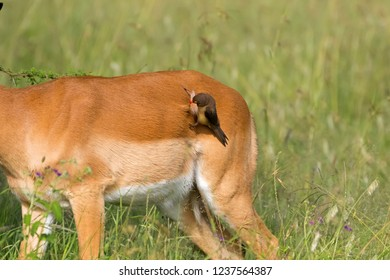 Red-billed oxpecker African bird pulling fur of female Impala