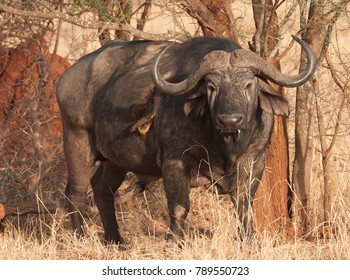Red-billed Oxpeckers drinking the blood of a Cape Buffalo with a wound in its side