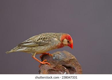 Red-Billed Quelea perched on rock (White mask); Quelea quelea