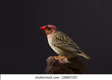 Red-Billed Quelea perched on rock; Quelea quelea