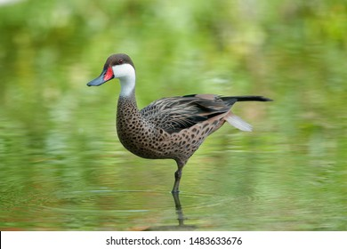 The red-billed teal or red-billed duck is a dabbling duck which is an abundant resident breeder in southern and eastern Africa.