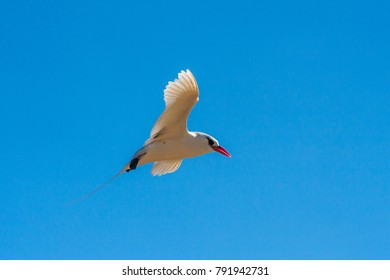"Red-billed tropicbird ""Paille-en-Queue"", seabird of tropical oceans"