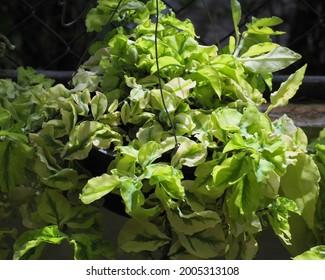 Redbird cactus,slipper flower,slipper plant,slipper spurge,timora misha,zig-zag plant.(Euphorbia tithymaloides)