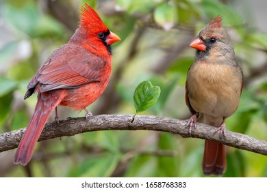 Redbird Mates for Life with Heart Shaped Leaf on Branch Between Them