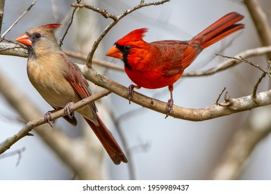 Redbird Pair Perched on Bare Branches of Crepe Myrtle in Early Spring in Louisiana