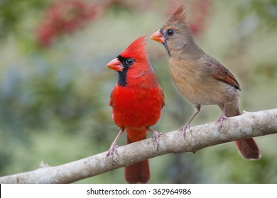 Redbirds on the Lookout
