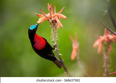 Red,black and blue Scarlet-chested Sunbird Chalcomitra senegalensis, colorful nectar feeding african bird,perched on stem,feeds from orange flower. Blurred green,orange background.KwaZulu Natal, SA.