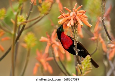 Red,black and blue Scarlet-chested Sunbird Chalcomitra senegalensis,colorful nectar feeding african bird,perched on stem,feeds from orange flower. Blurred orange flowers background.KwaZulu Natal, SA.