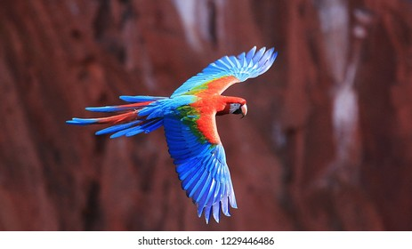 Red-blue macaw in flight