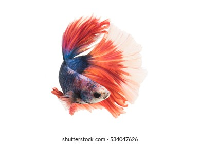Red-Blue Siamese fighting fish, betta fish isolated on white background.