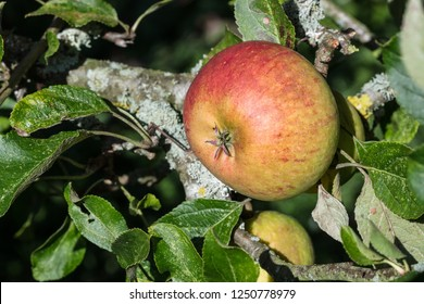 A red-blushed apple on a branch