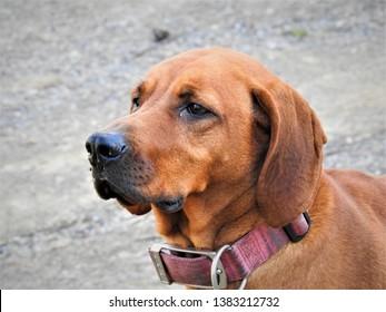 redbone coonhound female chevy anne