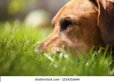 Redbone Coonhound lies in green grass