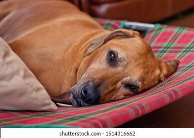 Redbone Coonhound lies on a checkered sofa