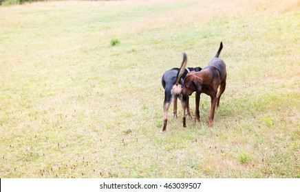 Redbone Coonhound and Rottweiler Mix Dog Meeting Another Dog in Of Leash Area