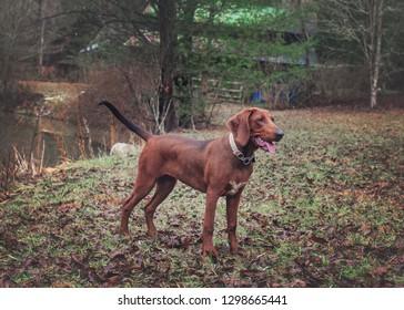 Redbone Coonhound Standing by Pond