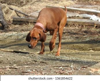Redbone Coonhound Walking