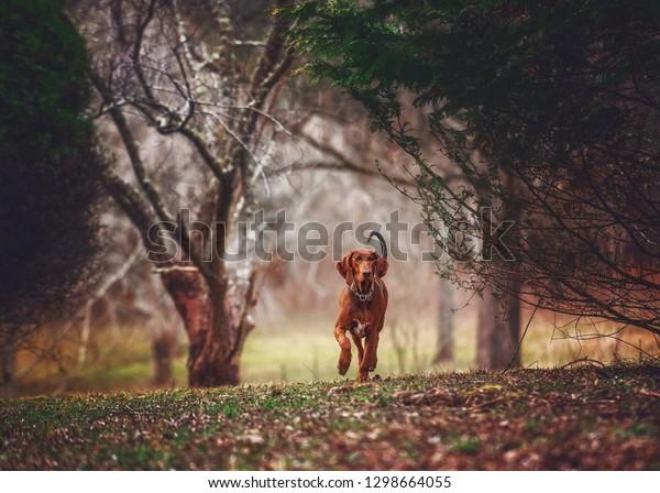 Redbone Coonhound Walking in Field