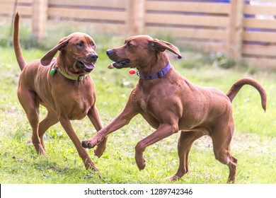 Redbone Coonhounds dogs playing happy