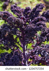 Redbor Purple Kale cabbage growing in the permaculture vegetable garden in the countryside.