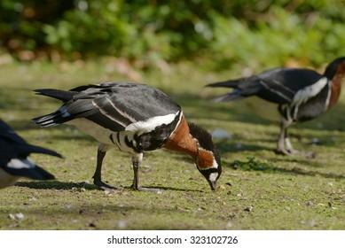 Red-breasted Goose, Branta ruficollis