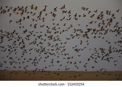 Red-breasted goose, Branta ruficollis, flight, Bulgaria, winter