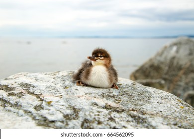 Red-breasted merganser chick sitting on a stone in front of the sea. Mergus serrator. Wild conditions.
