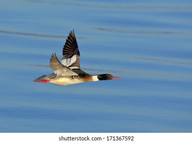 A red-breasted merganser drake flies low over the blue water near Blaine, Washington