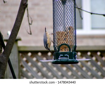 Red-breasted Nuthatch at Bird Feeder