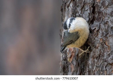 Red-breasted Nuthatch fledgling bird perched on tree trunk
