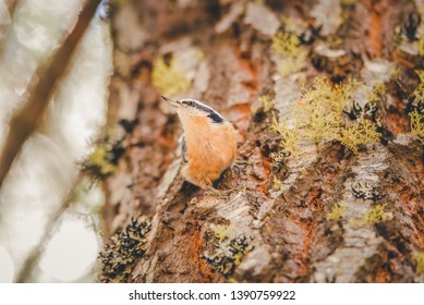 Red-breasted nuthatch in Lassen Volcanic National Park in Northern California