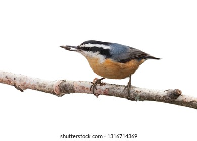 Red-breasted nuthatch, positioned on a birch branch, beak to tail, holds a sunflower seed in its beak. White background