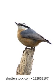 Red-breasted Nuthatch (Sitts canadensis)