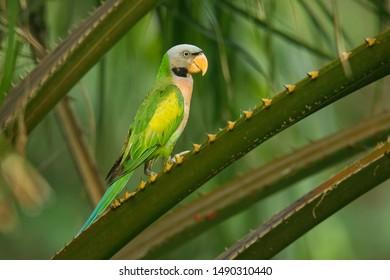 Moustached Parakeet Images, Stock Photos & Vectors
