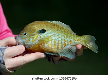 A red-breasted sunfish being held by someone for a photo before release on a sunny day