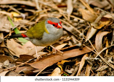 Red-browed finch in the wild in Australia.