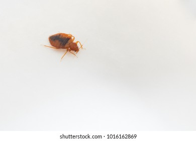 Red-brown bed bug on white background