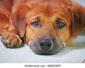 Red-Brown hair dog sleep look on the tiles.
