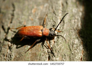 Red-brown Longhorn Beetle (Stictoleptura rubra) on a tree trunk in the forest in summer