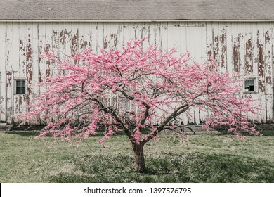 The redbud, cercis canadensis, is a tree covered with pink blossoms which grow in spring. It is also called the eastern redbud. Photographed in a park in Iowa in front of a white rustic barn.