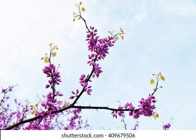 A redbud, or cercis, tree with pink flowers