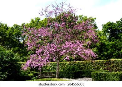 redbud, judas tree in a formal garden