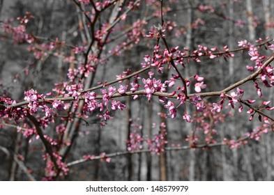 Redbud tree blooms in Spring