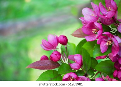 Redbud tree branch with bright pink blossoms. Selective focus on flowers with copy space at left