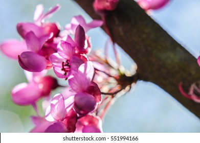 Redbud Tree branch with flowers backlit closeup