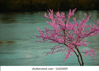 Redbud tree in full bloom over the Cumberland River