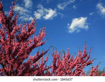 Redbud Tree on Blue Sky