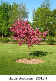 redbud tree with pink flowering blossoms