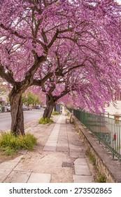 redbud tree, pink flowers, pedestrian road