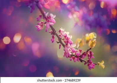 redbud tree pink flowers, spring background